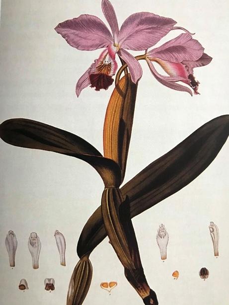 Miltonia royal robe Rare orchid hybrid seedling